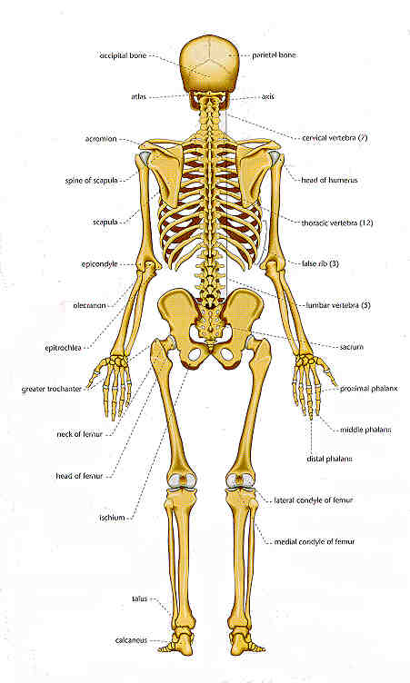 chart of human bones: rear view, Skeleton